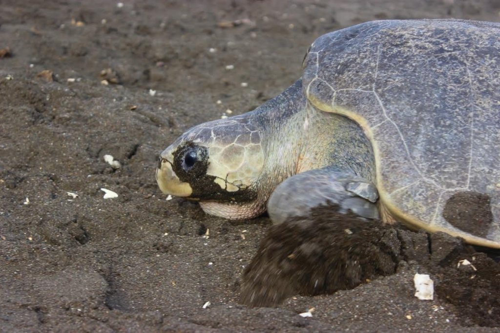 Sea turtle arribada in costa rica sea turtle publicscrutiny Gallery